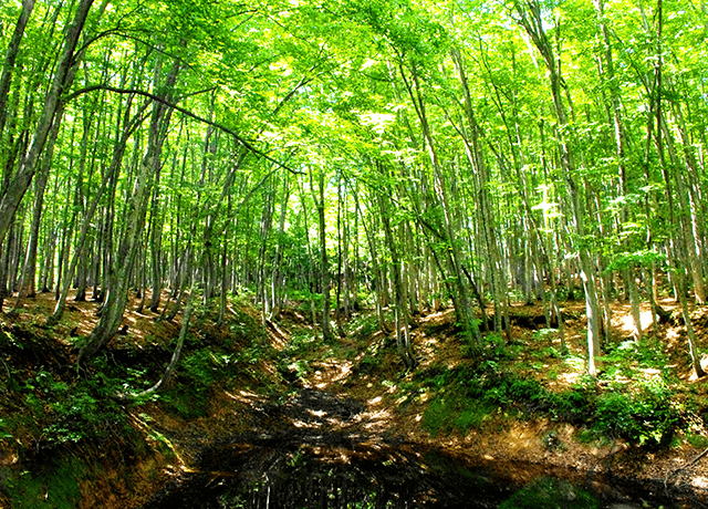 美人林をはじめとするブナの群生林